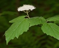 Fiore bianco e foglie verdi del viburno leaved dell'acero Fotografie Stock