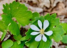 Fiore bianco e foglie verdi della pianta di bloodroot in foresta in primavera Fotografia Stock