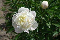 Fiore bianco e germoglio chiuso della peonia Immagine Stock Libera da Diritti