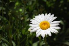 Fiore bianco e giallo con fondo verde Fotografia Stock Libera da Diritti