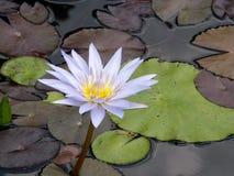 Fiore bianco e giallo del primo piano di loto immagine stock libera da diritti