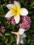 Fiore bianco e giallo del primo piano di plumeria Fotografia Stock