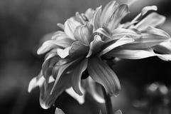 Fiore in in bianco e nero Immagine Stock