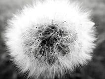Fiore in bianco e nero di desiderio Fotografie Stock Libere da Diritti