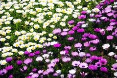 Fiore bianco e porpora Fotografie Stock Libere da Diritti