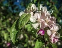Fiore bianco e porpora in Sun di bellezza di estate Immagini Stock Libere da Diritti