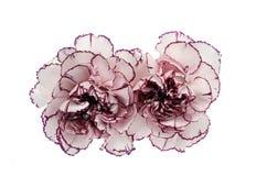 Fiore bianco e rosa del garofano Immagine Stock Libera da Diritti