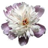 Fiore bianco e rosa della peonia Fotografia Stock