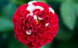 Fiore bianco e rosso Fotografie Stock