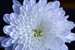 Fiore bianco e rosso Fotografia Stock Libera da Diritti