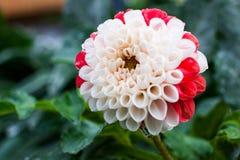 Fiore bianco e rosso bicolore della dalia dopo la pioggia Immagini Stock Libere da Diritti