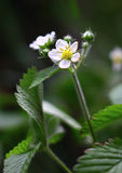 Fiore bianco Erdbeeren Immagine Stock
