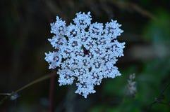 Fiore bianco fantastico nei prati di Rebedul a Lugo Natura dei paesaggi dei fiori immagine stock libera da diritti