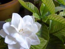 Fiore bianco fiorito del gelsomino Fotografia Stock Libera da Diritti