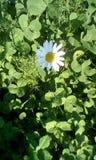 Fiore bianco fra erba Fotografia Stock