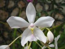 Fiore bianco fragile Fotografie Stock Libere da Diritti