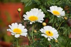 Fiore bianco fresco del tempo di mattina Immagini Stock Libere da Diritti