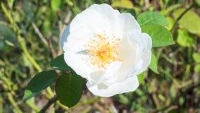 Fiore bianco Giappone Fotografie Stock Libere da Diritti