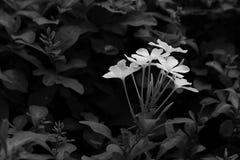 Fiore bianco in giardino Luce di giorno Chiuda fino alla natura Fotografia Stock Libera da Diritti