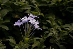 Fiore bianco in giardino Luce di giorno Chiuda fino alla natura Immagini Stock