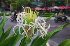 Fiore bianco insolito con forti foglie verdi Fotografia Stock