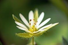 Fiore bianco a macroistruzione Immagine Stock