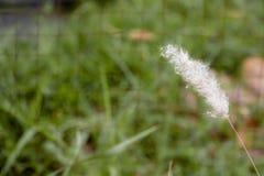 Fiore bianco molle dell'erba Fotografia Stock