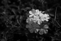 Fiore bianco nel giardino Fotografia Stock Libera da Diritti