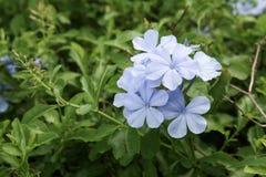 Fiore bianco nel giardino Fotografie Stock Libere da Diritti