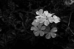 Fiore bianco nel giardino Fotografia Stock