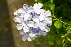 Fiore bianco nel giardino Immagini Stock Libere da Diritti