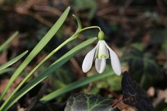 Fiore bianco nel parco, fioritura della molla, primo piano di bucaneve immagini stock