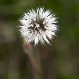 Fiore bianco nel parco nazionale del culmine Fotografia Stock Libera da Diritti