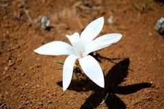 Fiore bianco nel parco nazionale del namaqualand Fotografia Stock Libera da Diritti
