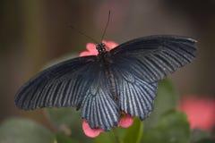 Fiore bianco nero di colore rosa della farfalla Immagine Stock
