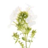 Fiore bianco porpora Fotografia Stock Libera da Diritti
