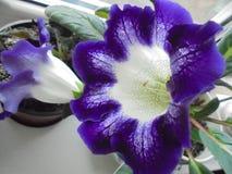 fiore bianco porpora con la tigre porpora Niger di gloxinia dei punti immagine stock