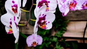 Fiore bianco porpora dell'orchidea nel giardino La macchina fotografica si spost indietroare sul cursore Correzione di colore video d archivio