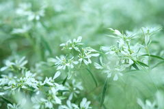 Fiore bianco in primavera, fiore bianco del primo piano, fondo del fiore bianco Immagini Stock