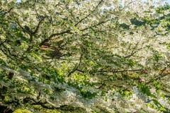 Fiore bianco Profustion Fotografia Stock