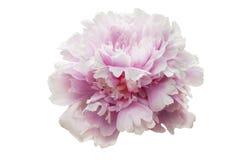 fiore bianco rosa della peonia con i petali lanuginosi, su un fondo isolato bianco Fotografia Stock