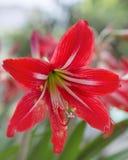 Fiore bianco rosso di Alstroemeria - gigli delle inche Fotografie Stock