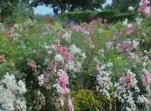Fiore bianco splendido & di rosa di Rose Flowers in regina Elizabeth Park Garden immagine stock libera da diritti
