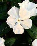 Fiore bianco sporco fotografia stock