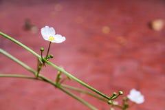 Fiore bianco su blackground rosso Fotografie Stock Libere da Diritti