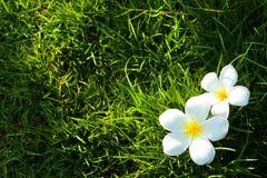 Fiore bianco sul campo di erba Fotografie Stock
