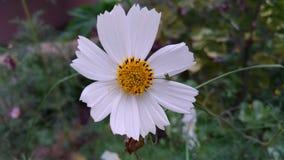 Fiore bianco sul letto di fiore Fotografie Stock Libere da Diritti
