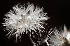 Fiore bianco sul nero Fotografie Stock