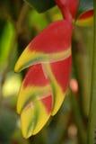 Fiore Bloomi di colore giallo arancione della Aragosta-branca di Heliconia immagini stock