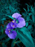 Fiore blu immagine stock